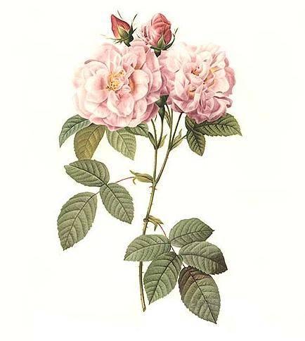 rosa-i-damaskini
