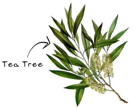 Tea Tree Oil – Η ιστορία και τα χαρακτηριστικά του!