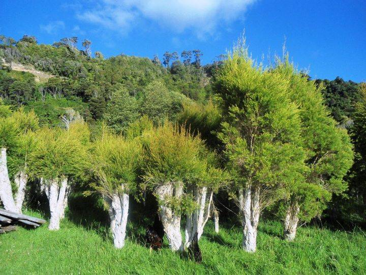 Tea_Tree_Regrowth