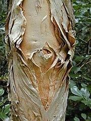 kormos tea tree