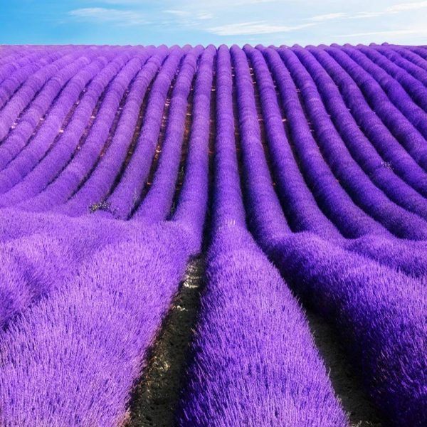 lavender-seeds-french