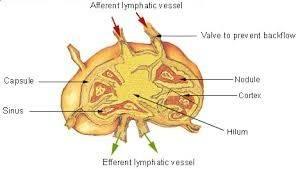 lemfiko-susthma-leitourgia-tou-4