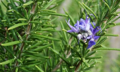 dendrolibano-rosmarius-officinalis-7