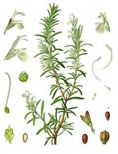 dendrolibano-rosmarius-officinalis-8