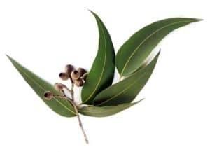 eucalyptus-globulus-radiata-citriodora-1