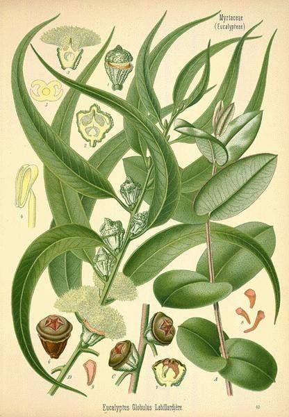 eucalyptus-globulus-radiata-citriodora-2