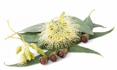 eucalyptus-globulus-radiata-citriodora-3