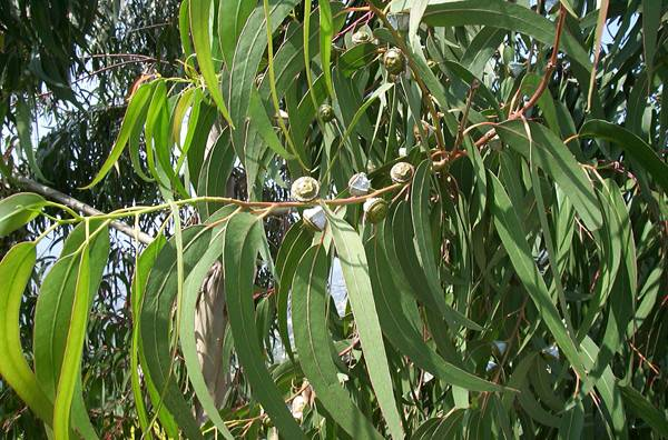 eucalyptus-globulus-radiata-citriodora-4