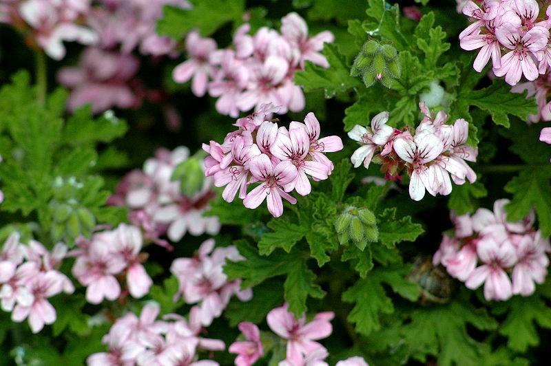 pelargonium-graveolens-3