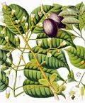 canarium-luzonicum