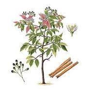 cinnamomum-verum