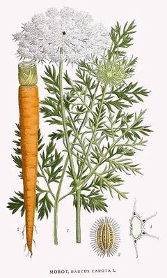 daucus-carota