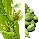 eletteria-cardamomum