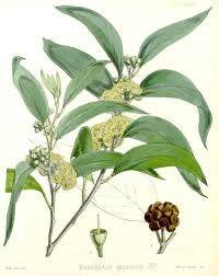 eucalyptus-radiata-officinalis