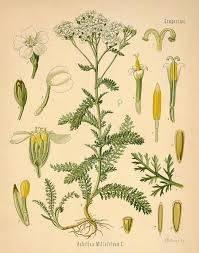 helichrysum-angustifolium