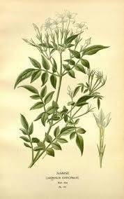 jasminum-grandiflorum