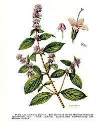 mentha-spicata