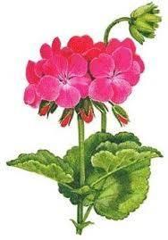 pelargonium-graveolens