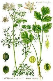 coriandrum-sativum