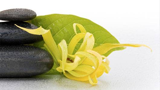 3625-1129499-_0002_Article image Ylang Ylang812-196916
