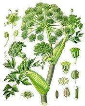 angelica-archagelica