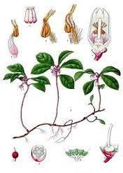 gaultheria-procubens