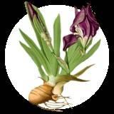 iris-germanica