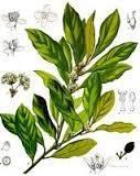 pimenta-racemosa