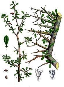 220px-Commiphora_myrrha_-_Köhler–s_Medizinal-Pflanzen-019
