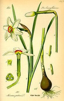 220px-Illustration_Narcissus_poeticus0