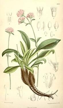 220px-Nardostachys_grandiflora