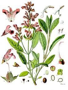 220px-Salvia_officinalis_-_Köhler–s_Medizinal-Pflanzen-126