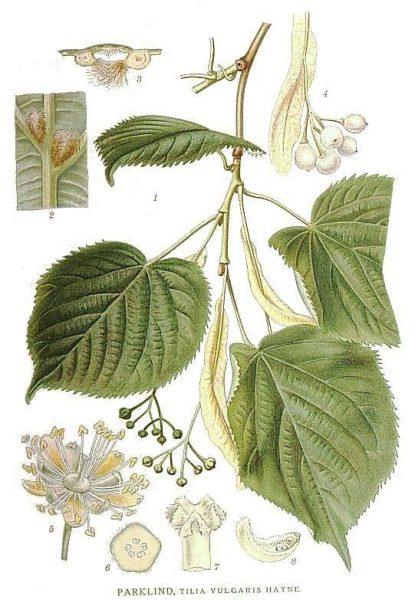 233_Tilia_vulgaris