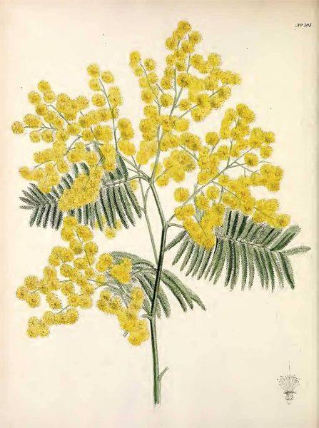 Acacia-dealbata-Ακακία-μιμόζα-illustration
