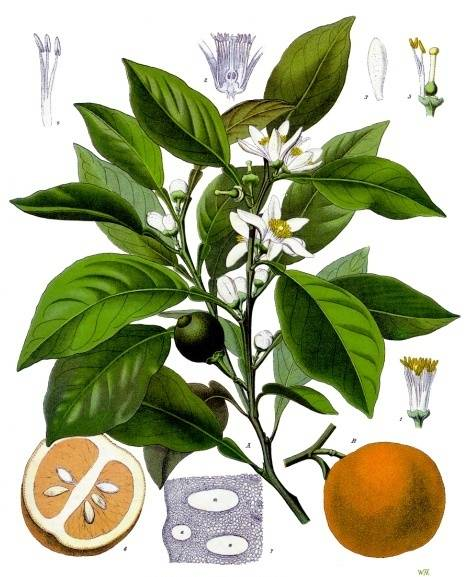 Citrus_aurantium_-_Köhler–s_Medizinal-Pflanzen-042