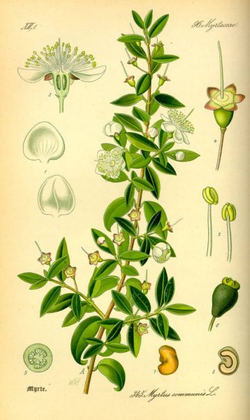 Illustration_Myrtus_communis0