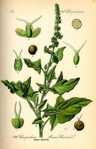 basil-botanical-003