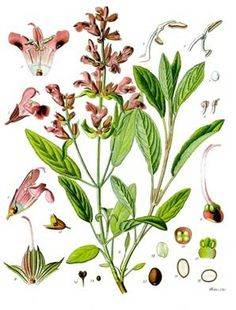 e30f5bf66e9383dbb9e7803987c647b5--botanical-drawings-botanical-prints