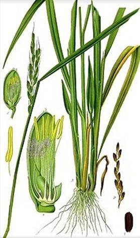 lemongrass_drawing