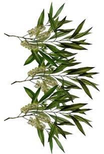 melaleuca_alternifolia_leaf_oil