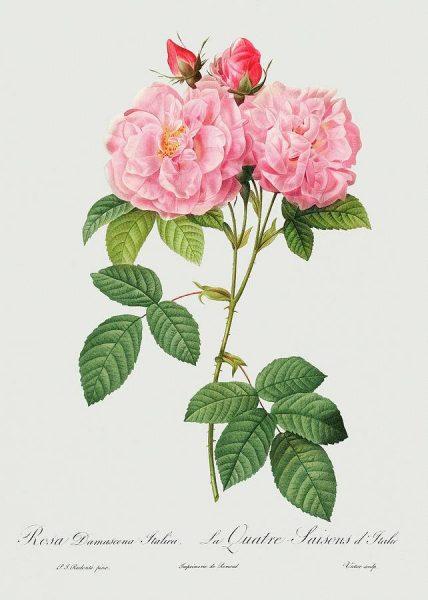 rosa-damascena-italica-1817-pierre-joseph-redoute