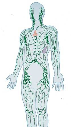 lymphatic_system_1